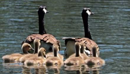 liba család