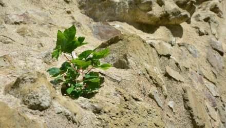sziklafalon élő növény